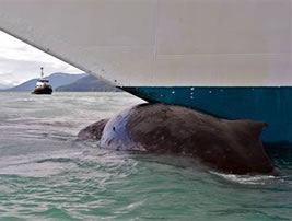 Collision with Whale How Shipping Has Become a Great Threat to Whales?
