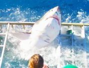 Shocking Video: Great White Shark Cage Breach Accident