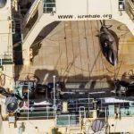 Photos: Sea Shepherd Catches Japanese Poaching Fleet With Dead Whale In Australian Sanctuary
