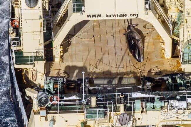 heli-spots-Nisshin-Maru-and-2-harpoon-ships