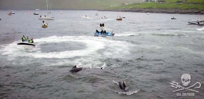 Seashepherd_whale_slaughter