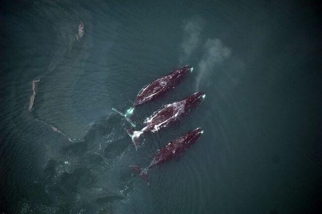 nmmlweb-bowheadwhale