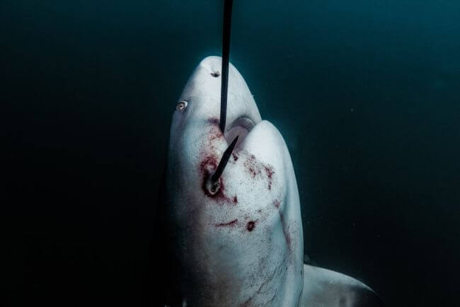 Shocking new imagery of sharks hooked on Queensland Government drum lines