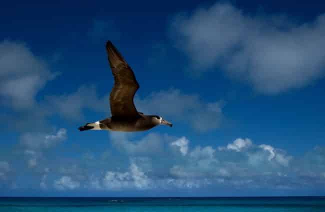 Black-footed-albatross-Hawaii_Conners_med