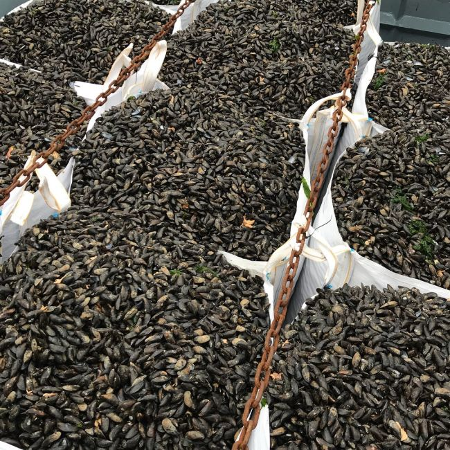 The future of mussel farming_