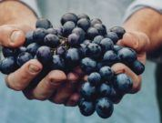 Maersk Starts End-to-end Cold Chain Logistics For Grapes' Export From Nashik And Sangli To North Europe